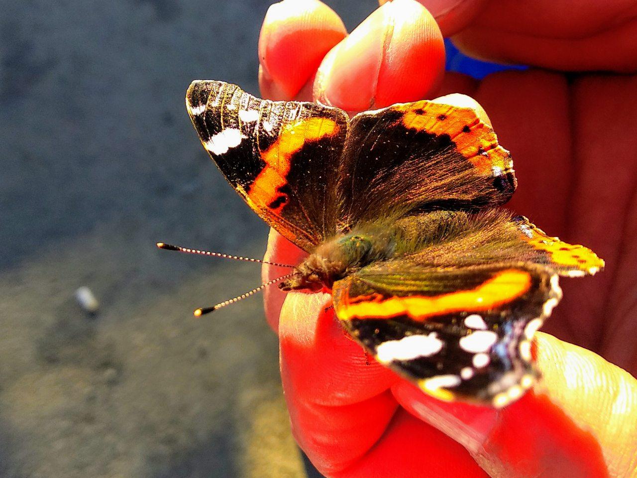 Kazbegi-butterfly